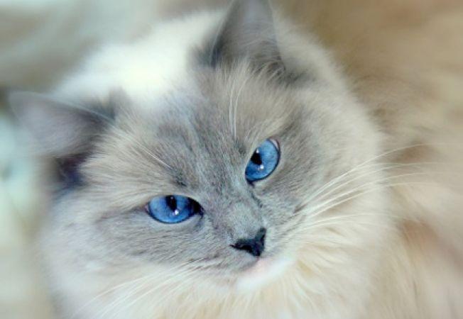 pisica ochi