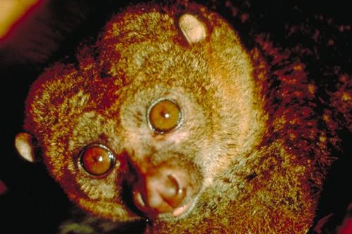 Maimutica africana lenesa, un companion simpatic