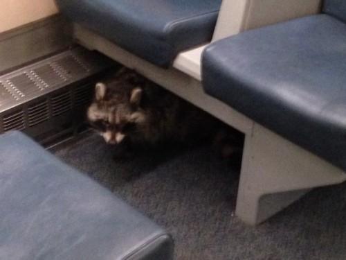 Ce s-a intamplat cu un raton descoperit ascuns sub bancheta dintr-un tren?