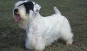 sealyham-terrier2