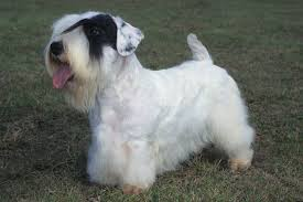 sealyham-terrier2