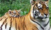 Este incredibil ce s-a întâmplat cu tigrii de la un Templu din Thailanda! Activiştii pentru drepturile animalelor sunt revoltați