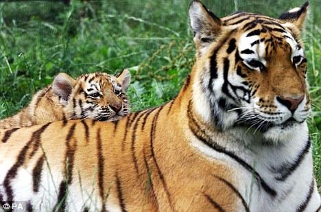 Trei decenii de cand nu au mai fost vazuti in libertate tigri din sudul Chinei, avertizeaza zoologii