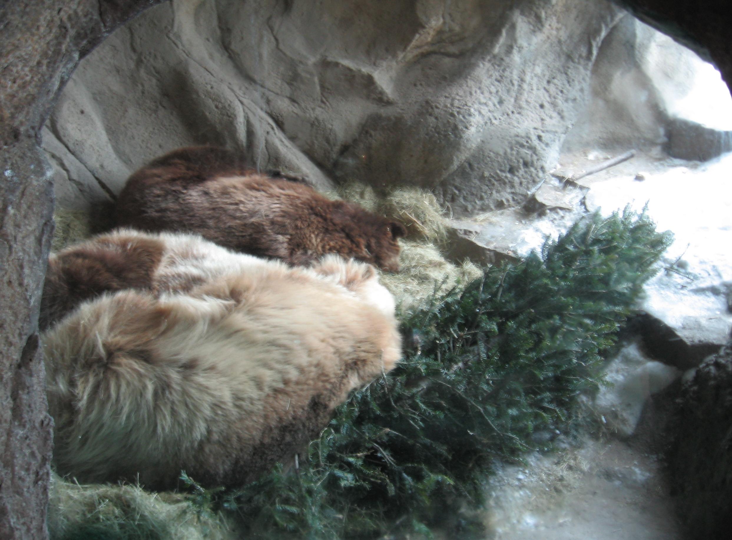ursi hibernand