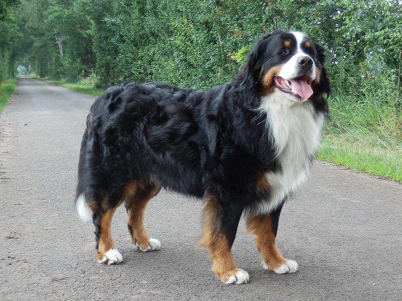 boala articulației câinelui de munte bernese când articulațiile doare cum se tratează
