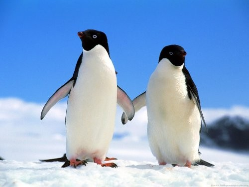 Pinguini-Adelie