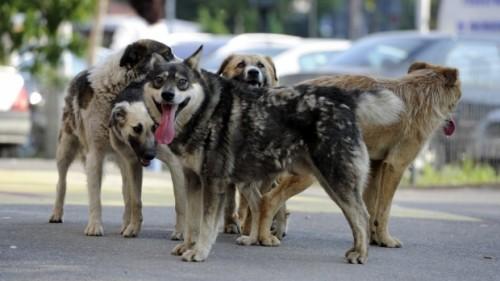 Sat TERORIZAT de câinii fără stăpân. Au ucis SUTE de OI
