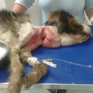 Infiorător: Ani de zile a fost tinut legat cu un cablu, care aproape i-a tait gatul!!
