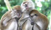 "O, Doamne! In numele stiintei, chinezi au creat maimute ""autiste"""