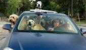 Noul Cod Rutier reglementeaza si transportul animalelor de companie