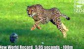 A murit ghepardul Sarah, considerat cel mai rapid mamifer terestru