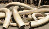 Numeroase celebritati, invitate sa asiste la distrugerea unei uriase cantitati de fildes in Kenya