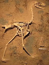 fosile Llallawavis scagliai