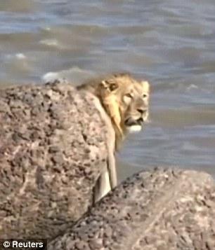Un LEU s-a aruncat in mare pentru a scapa de oameni!