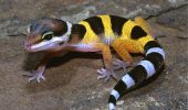 Companionul Gecko Leopard