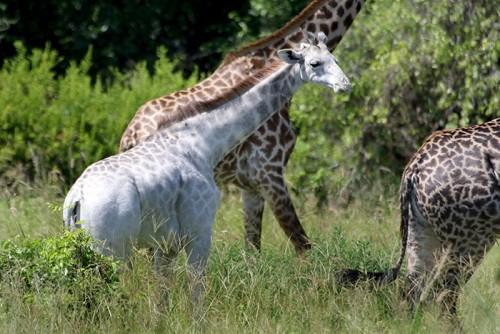 girafa 2