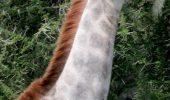 O CIUDATENIE a naturii sau doar Photoshop? O girafa ALBA!