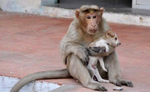 POVESTE IMPRESIONANTA: Un catelus a fost adoptat de o maimuta din India!