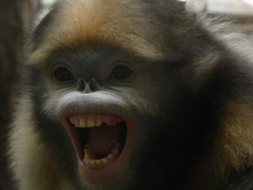 maimuta care stranuta1