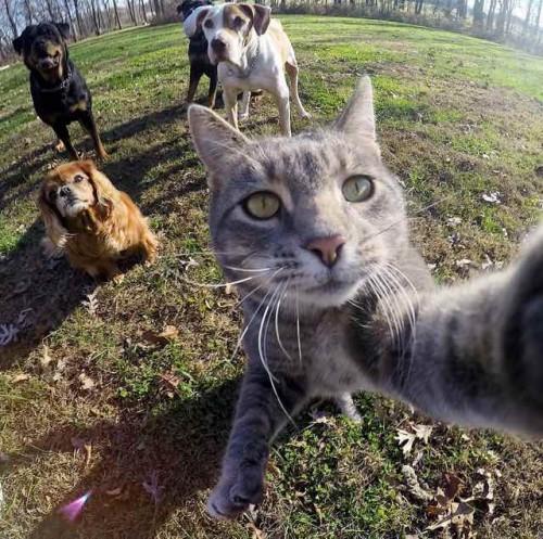 O camera GoPro, un motan si amicii rottweileri