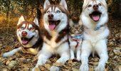 Cei mai buni PRIETENI! 3 Husky si o pisica!