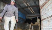 Daruri: vaci de rasa de la fermierii din Irlanda!