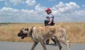 Bulgarii de la granita cu Turcia, speriati de invazia cainilor Kangal
