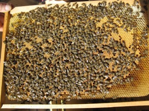 Un studiu recent indica: omul – drept responsabil pentru o maladie care decimeaza albinele