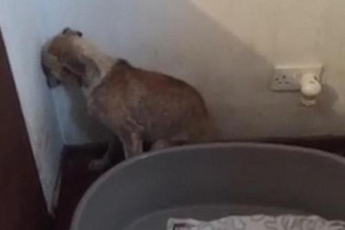 O filmare cu adevarat emotionanta: un caine care nu-si intoarce fata de la perete, afectata de ani intregi de ABUZURI