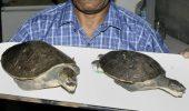 O noua specie de testoasa a fost descoperita in Papua – Noua Guinee