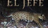 El Jefe, singurul jaguar salbatic cunoscut in SUA, filmat timp de trei ani