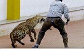 Un leopard a ajuns intr-o scoala din India