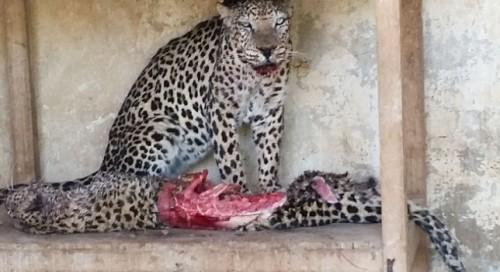 CUMPLITELE efecte ale RAZBOIULUI: Sute de animale dintr-o gradina zoologica din Yemen au ajuns sa se manance intre ele