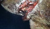 Tyson, cainele taiat cu toporul, se recupereaza. Dar mai are de trecut prin multe interventii chirurgicale….