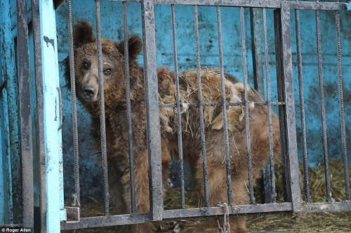 Ursii care vor fi adusi din Armenia, in Sanctuarul Liberty, sunt doar piele si oase