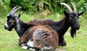 75 de capre au fost CONCEDIATE pentru ca nu si-au facut treaba pentru care au fost angajate