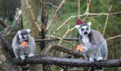Ziua indragostitilor….lemuri!