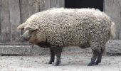 Magalita – lanosul gustos sau porcul – somon!