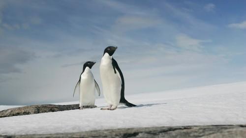 150.000 de pinguini AU MURIT dupa ce un iceberg gigant i-a lasat IZOLATI
