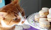 Este sau NU este recomandat laptele, pentru feline?