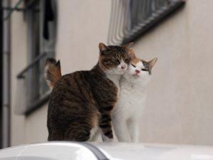 S-ar putea ca pisica ta sa fie in calduri? ATENTIE la SEMNE!