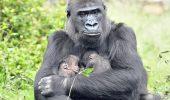 Eveniment EXTREM DE RAR: Pui gemeni de gorila de Vest, nascuti intr-o rezervatie din Republica Centrafricana