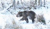 Din pacate, in fauna salbatica a Romaniei au aparut specii noi – ursi si mistreti fara picioare…