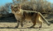 Despre pisica de nisip, cea scumpa la vedere!