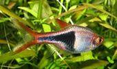 Pestele Arlechin, cel mai indragit din acvariu