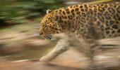 Cel mai batran leopard de Amur din lume a fost eutanasiat