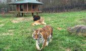 PRIETENIE CARE TE IMPRESIONEAZA: Un LEU, un TIGRU si un URS – sunt cei mai buni amici!