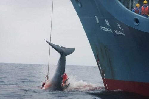 """Japonia: """"doar"""" 333 de balene ucise, bilantul actualului sezon de vanatoare"""