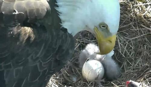 Ecloziunea, in direct, a unui pui de vultur, urmarita cu mare emotie, la Washington