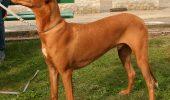 Pharaoh Hound – cainele national al Maltei